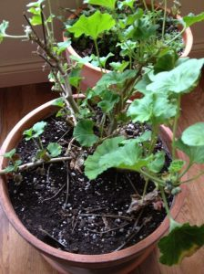 geranium-before